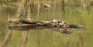 Eno Turtle Crop LR