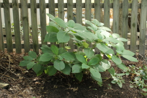 Relocating Hydrangea Bush (2)