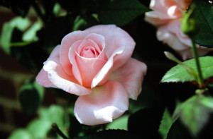 Pink Rose © Jeffrey D. Nichols