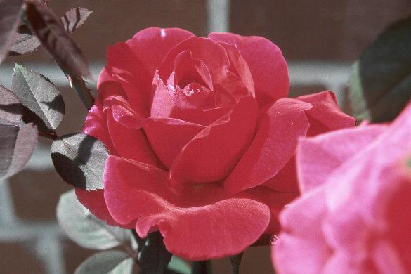 Source: Rose Image F-153 © 1999 Jeffrey D. Nichols
