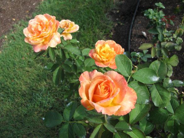 NicholsNotes Raleigh Rose Garden (12)