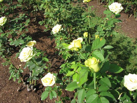 NicholsNotes Raleigh Rose Garden (2)