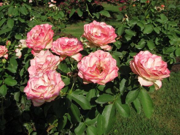NicholsNotes Raleigh Rose Garden (3)