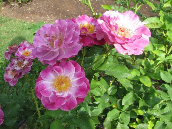 NicholsNotes Raleigh Rose Garden (4)
