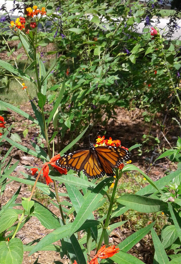 Monarch on Milkweed 8_25_2017