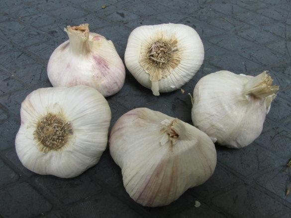 Fall Garlic Planting 2017