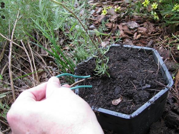 Layering Woody Plants (37)
