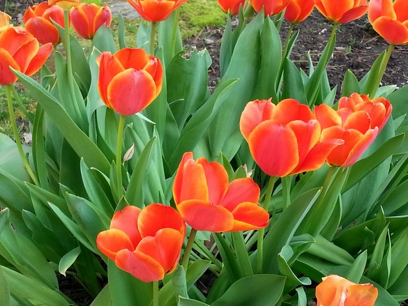Plan Ahead for Spring Tulips