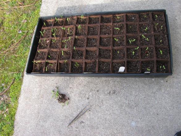 Starting Seeds (5)