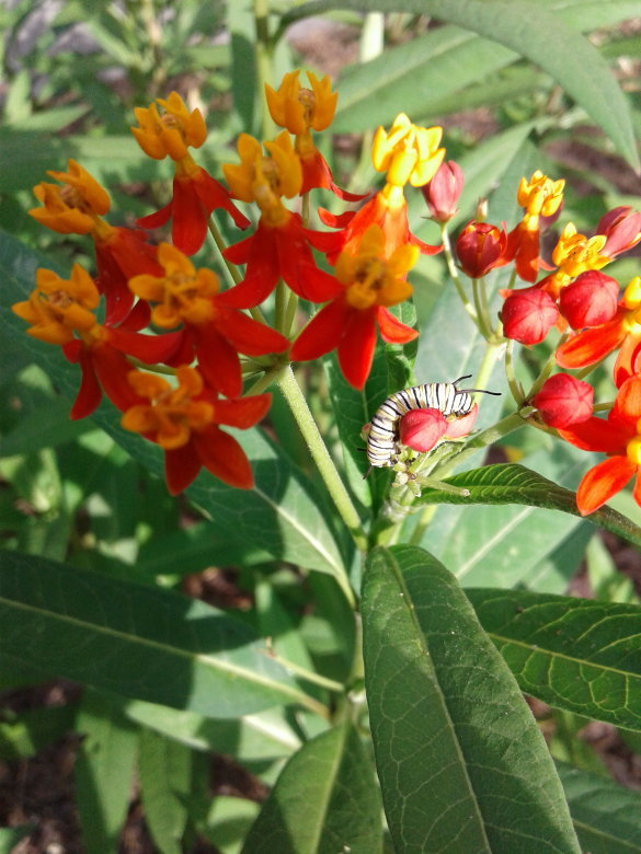 Happy Monarch Caterpillar