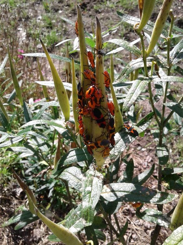 Milkweed Bugs (1)