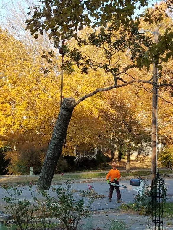 Removing the Oak Tree Nov 2018 (7)