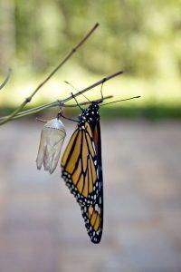 monarch_cocoon2
