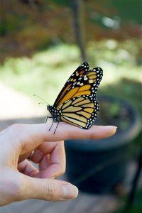 monarch_cocoon3