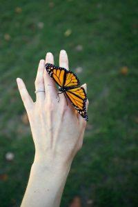 monarch_cocoon4
