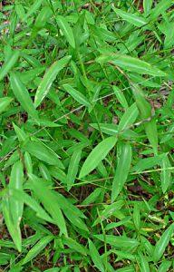 Japanesestiltgrass_502763_7