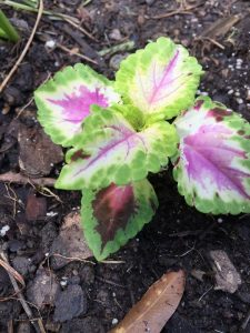 Coleus From Seed 2019 (4)