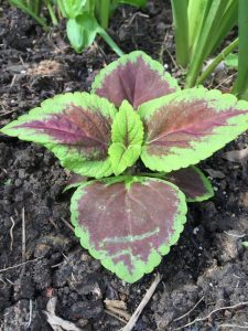 Coleus From Seed 2019 (5)