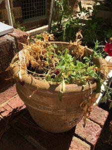 Dianthus Disaster Summer 2019 (1)