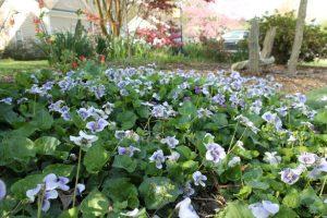 Blue Spring Flowers (1)
