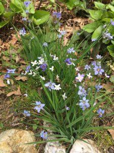 Blue Spring Flowers (13)