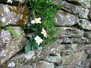 Woody's Stone Wall (2)
