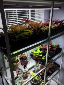 Coleus from cuttings 2020 (3)