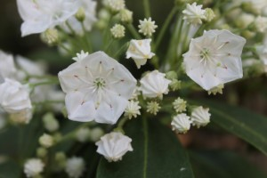 Mountain Laurel 1