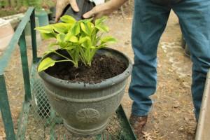 Planting Hosta 11