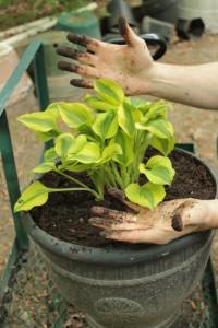 Planting Hosta 12