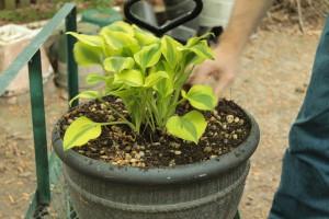 Planting Hosta 13