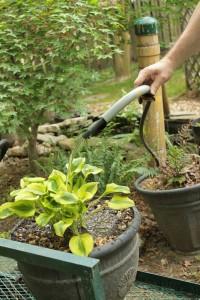 Planting Hosta 17