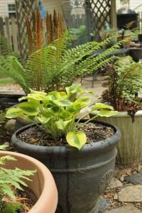 Planting Hosta 19