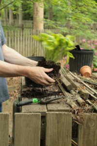 Planting Hosta 4