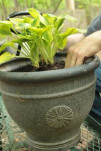 Planting Hosta 8