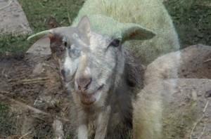 Wolf+Sheep