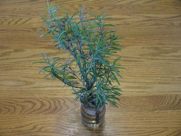 Rosemary (4)