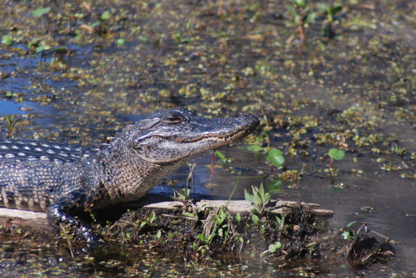 The Alligator Story – Part 2