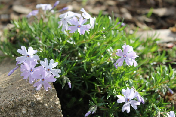 The Persnickety Phlox